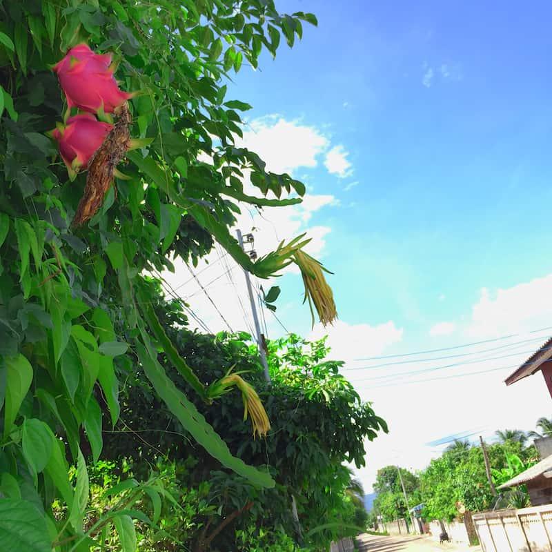 pitaya (2)